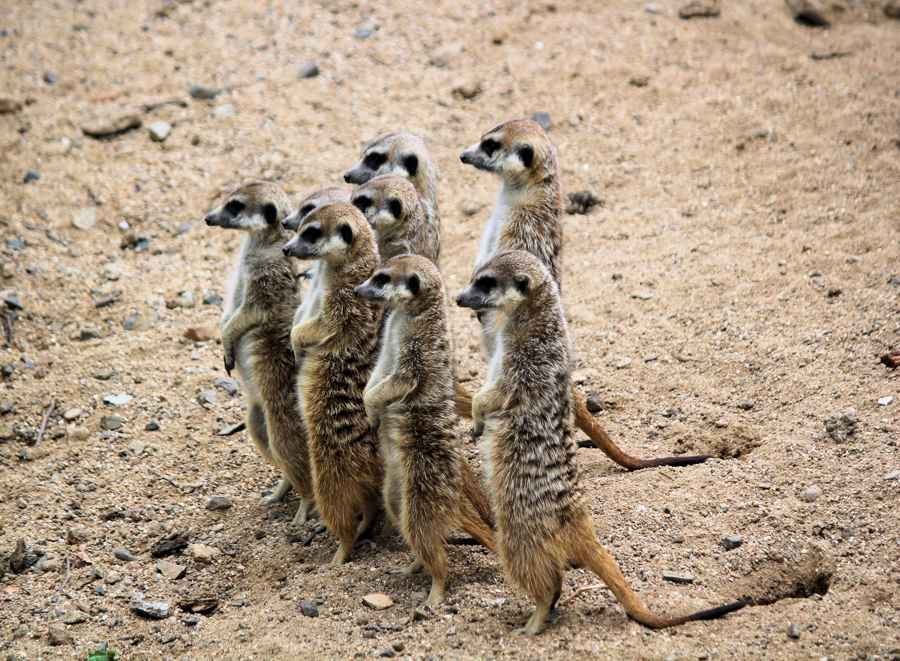 designated lead person for safeguarding meerkats on sentry duty